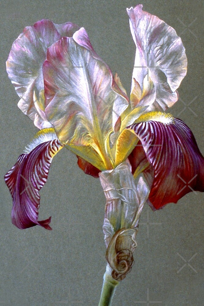 Flag Iris watercolor and gouache  by Sarah Trett