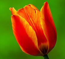 tulip beautyII by Rodney55