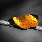Lepidoptera by Saikat Babin Biswas