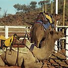 Camels, Alice Springs by Maggie Hegarty
