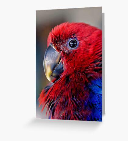 Ruffled Up - eclectus parrot Greeting Card