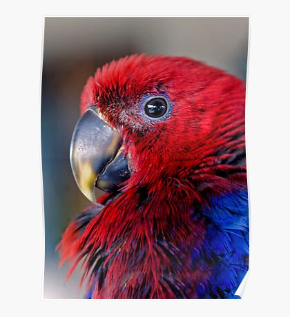 Ruffled Up - eclectus parrot Poster