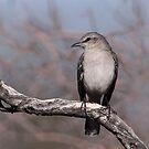 Northern Mockingbird by tomryan