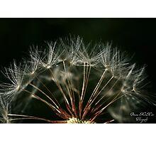 Dandy Seedlings Photographic Print