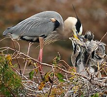 GBH family in the Everglades by joemc