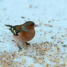 Male Chaffinch by Robert Abraham