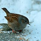 Hedge Sparrow by Robert Abraham