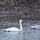 Whooper Swans by DutchLumix