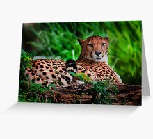 Resting Cheetah - Outdoor Wildlife Photography Art Greeting Card