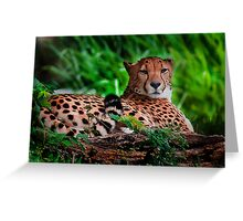 Resting Cheetah - Outdoor Wildlife Photography Art Greeting Card
