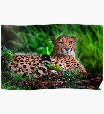 Resting Cheetah - Outdoor Wildlife Photography Art  Poster