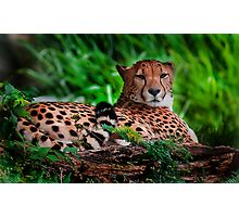 Resting Cheetah - Outdoor Wildlife Photography Art  Photographic Print