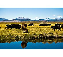 Cows of the Sierras Photographic Print