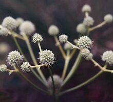 Eryngium Eburneum by Andrew  Kearton
