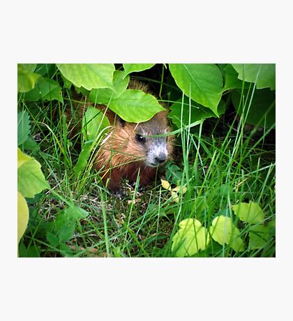 Cute Shy Peek a Boo Baby Groundhog  Photographic Print