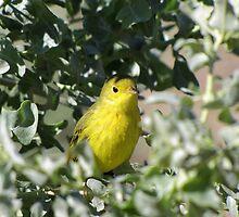 Yellow Warbler by Kimberly Chadwick