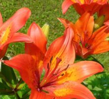 Loads Of Blooms.... Tiger Lilies Sticker