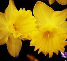 Daffodill Secrets by trueblvr