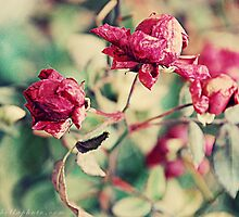 Winter Roses by lisabella