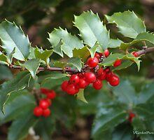 Holly Berries by vigor