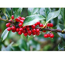 Red, Red Berries of the Holly Tree Photographic Print