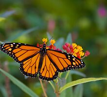 Monarch Butterfly by njordphoto