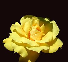 Yellow Rose 2 by ECH52