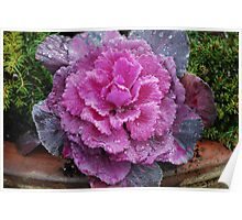Ornamental Cabbage... Poster