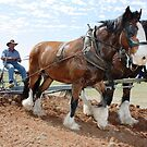 Draught Horse display - Narromine NSW by Blackie