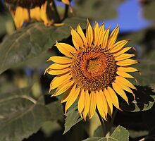 Sunflower in the sun by VigourGraphics