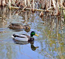 Pair of Mallard Ducks by Rod Johnson