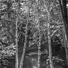 Birches by Colleen Drew