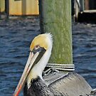 Pelican At Rest by hatterasjack
