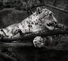 Snow Leopard 3 by Manfred Belau