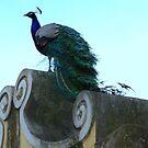 Peacock at Castelo de Saint Jorge by Christine Oakley