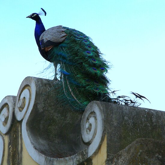 Peacock at Castelo de Saint Jorge by Christine Oakley