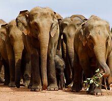 Elephants at Pinnawela, Sri Lanka by Rajeev Costa