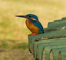 Common Kingfisher by Rajeev Costa