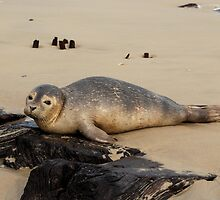 Beached Seal by NikonJohn