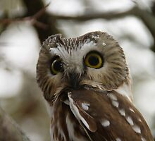 Northern Saw - Whet Owl - Amherst Island, Ontario by Tracey  Dryka