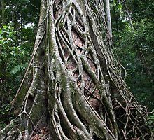 Fraser island Strangler Fig by nymphalid