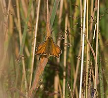 Small Skipper by Jon Lees