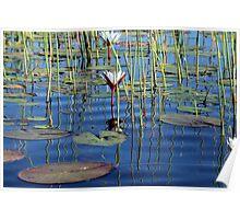 waterlilly in the Okavango Delta Poster