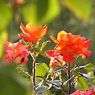 Roses by alexisjmichel