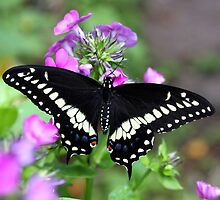American Black Swallowtail by nymphalid