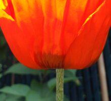 First Poppy of the Season in Mo's Garden Sticker