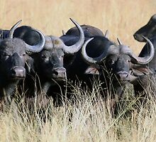 Cape Buffalo herd in long grass by nymphalid