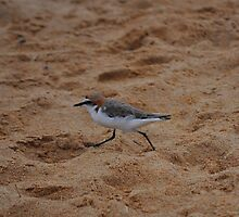 Red Capped Plover by Jackie  Smith