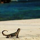 Curly Tailed Lizard Gazing by goodieg