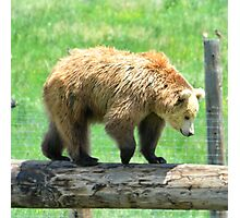 Young Grizzly Bear Photographic Print